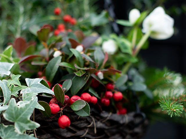a close up of a Christmas themed hanging basket with red berries, white flowers and foliage - christmas foliage styling ideas - goodhomesmagazine.com