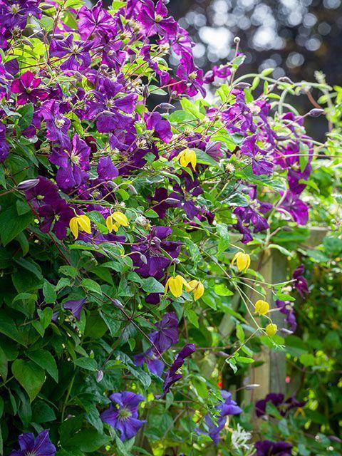 Sarah Raven purple clematis viticella Etoile Violtte