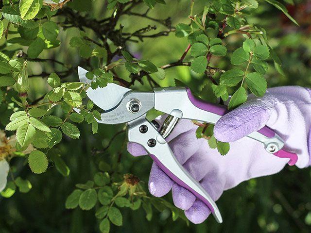 Sarah Raven secateurs trimming a rose bush
