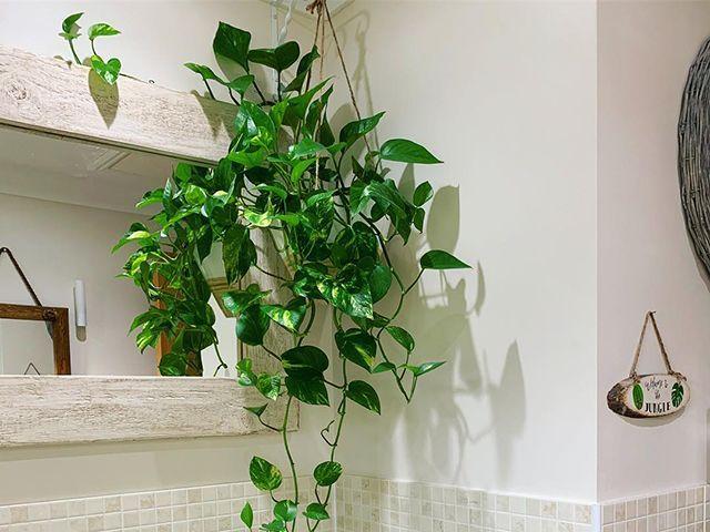 devil's ivy plant in a bathroom - goodhomesmagazine.com