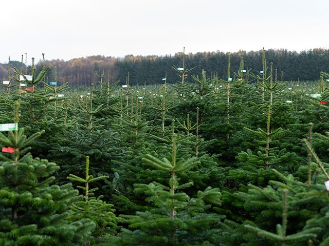 lidl trees sun - Lidl is selling real Christmas trees for £17.99 - shopping - goodhomesmagazine.com
