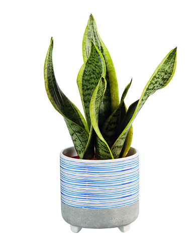 snake plant from lidl - lidl launches a range of air-purifying plants - news - goodhomesmagazine.com