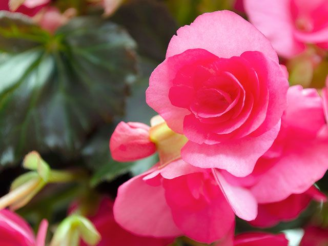 begonia plant - the best houseplants for you according to your star sign - inspiration - goodhomesmagazine.com