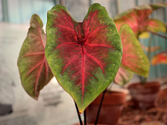caladium - 7 toxic houseplants to be cautious of in your home - inspiration - goodhomesmagazine.com