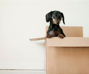 sausage dog in moving box - 8 house moving tips during Covid - inspiration - goodhomesmagazine.com